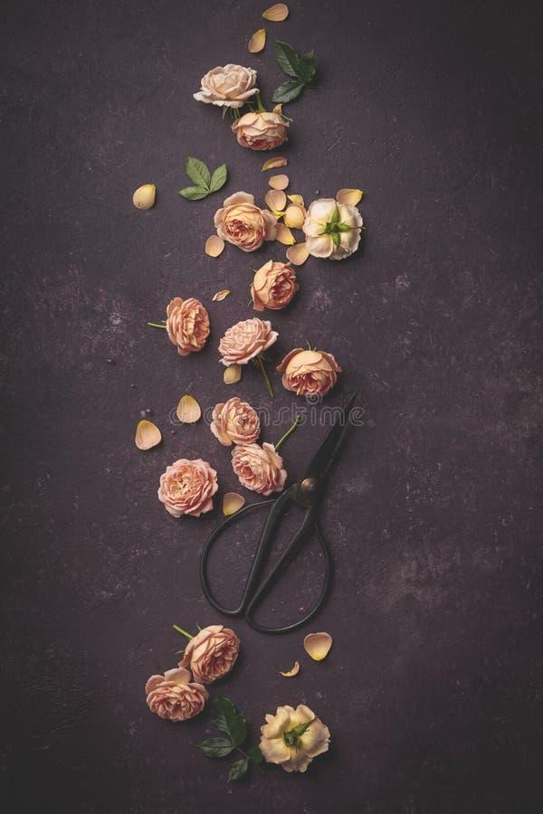 Цветочный узор со свежими розами и ножницами сада на темной пурпурной предпосылке стоковые фото