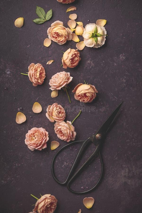 Цветочный узор со свежими розами и ножницами сада на темной пурпурной предпосылке стоковые фотографии rf