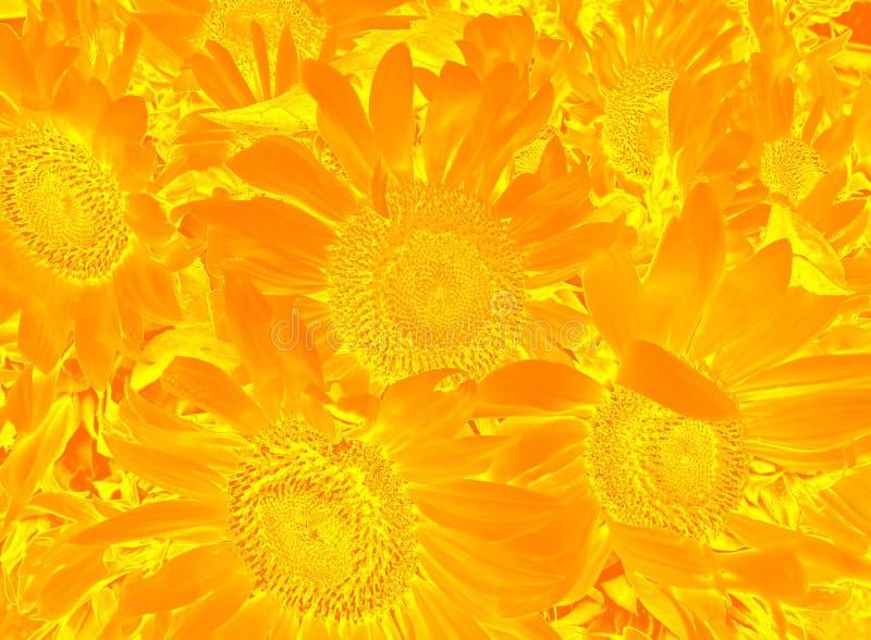 Цветочный узор с солнцецветами стоковое фото rf