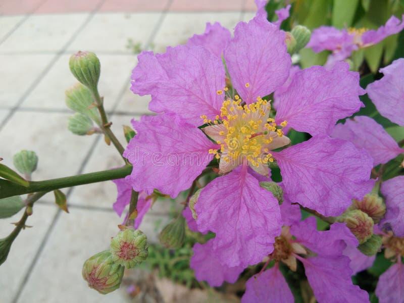 Цветут цветок и бутоны гордости Индии, цветка ферзя, Intanin стоковая фотография