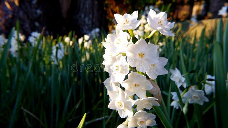 Цветы белого дафодила в закрытой фотографии стоковое изображение rf