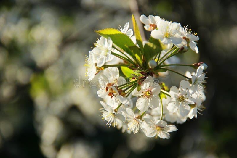 Цветы Вишня стоковые фотографии rf