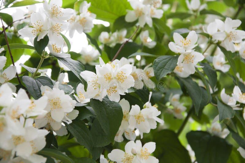 Цветы Жасмин стоковая фотография rf