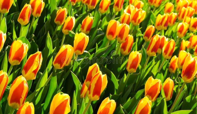 Цветы на фоне обоев парка dutch стоковая фотография rf