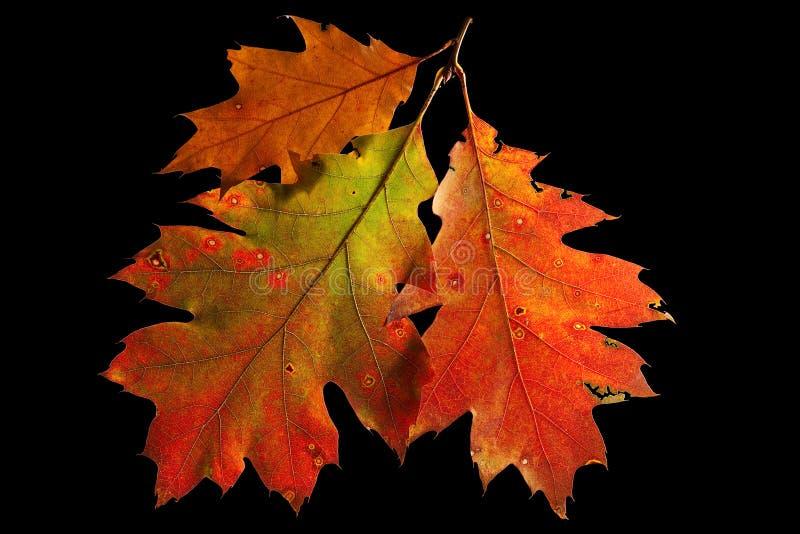 цветы осени понижаются красный цвет дуба листьев стоковые фотографии rf