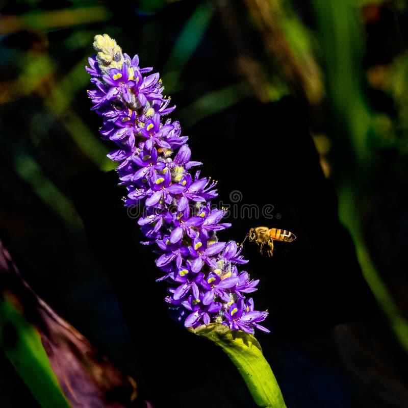 Цветы Пчелы и гиацинта стоковое фото rf