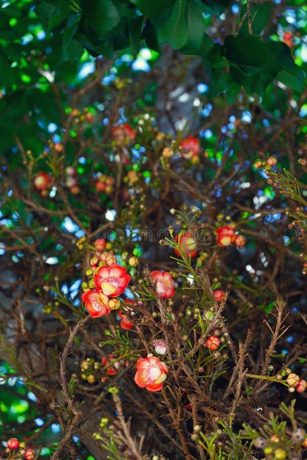 Цветы шореи робусты стоковые изображения