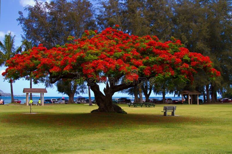 Цветя африканское дерево тюльпана стоковая фотография rf