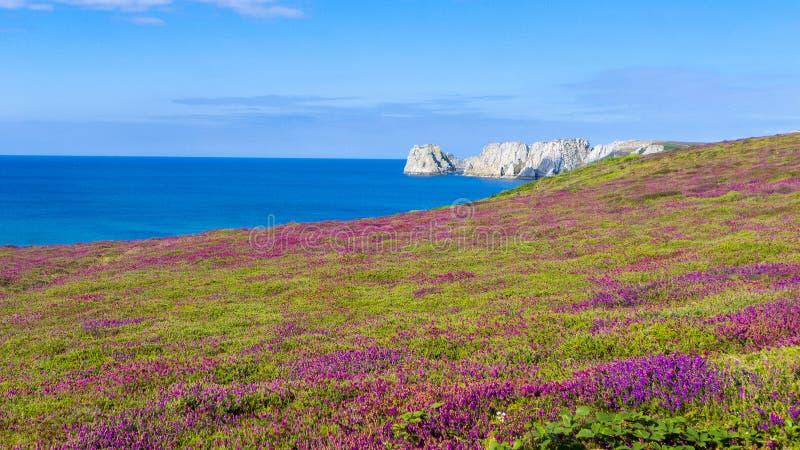 Цветя вереск Бретань Франция стоковая фотография