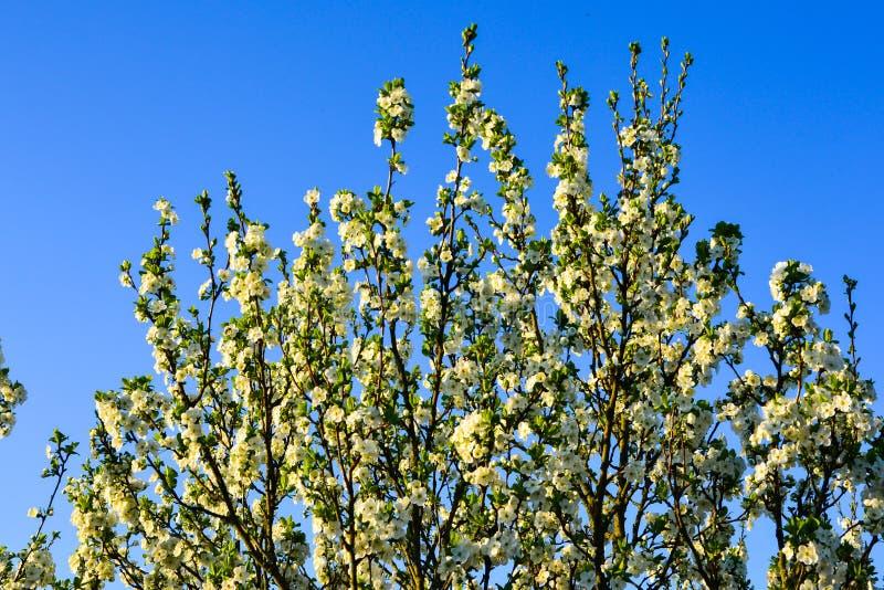 Цветя ветви дерева на солнечный день против ясной предпосылки неба стоковая фотография rf