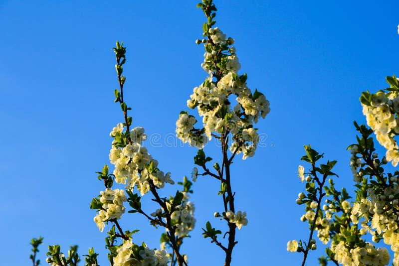 Цветя ветви дерева на солнечный день против ясной предпосылки неба Беларусь стоковое изображение