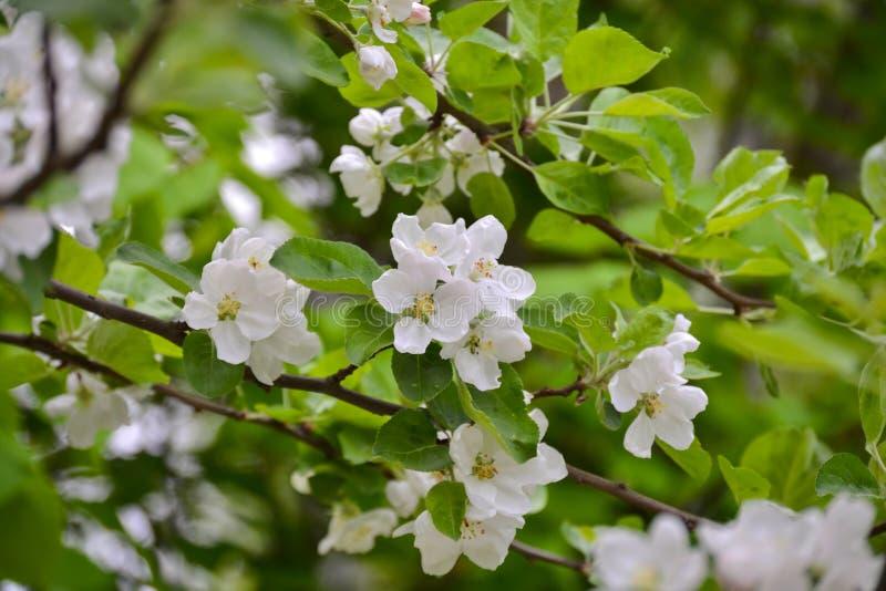 Цветя ветви деревьев с цветками яблока белыми стоковые изображения rf