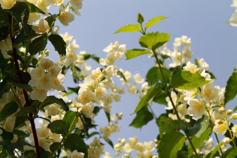 Цветя ветви жасмина после дождя в утре лета стоковые изображения