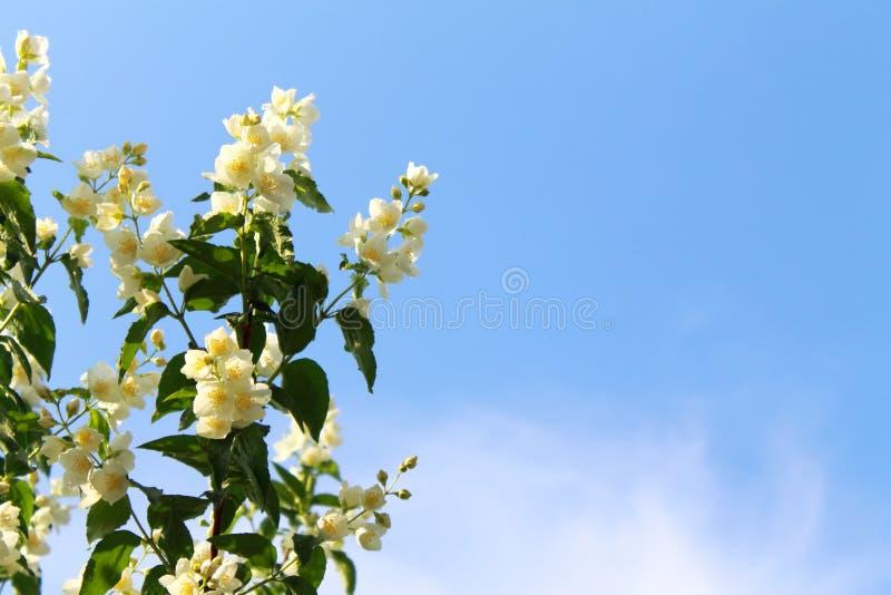 Цветя ветви жасмина после дождя в утре лета стоковые фотографии rf