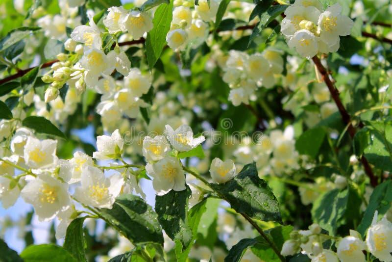 Цветя ветви жасмина после дождя в утре лета стоковое фото rf