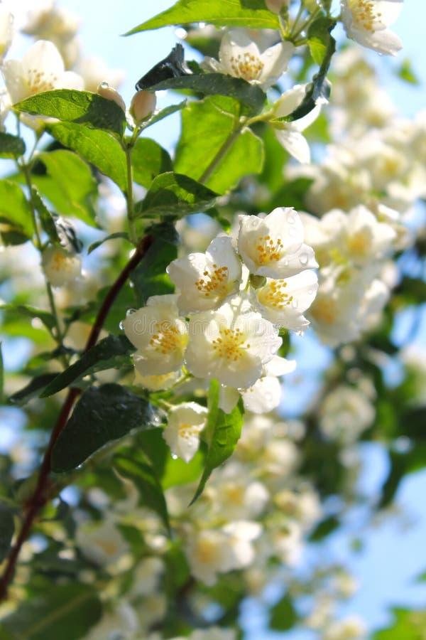 Цветя ветви жасмина после дождя в утре лета стоковое изображение