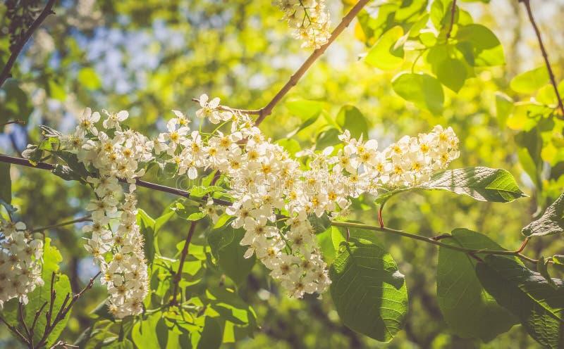 Цветя ветви зацветая дня вишни солнечного стоковые фото