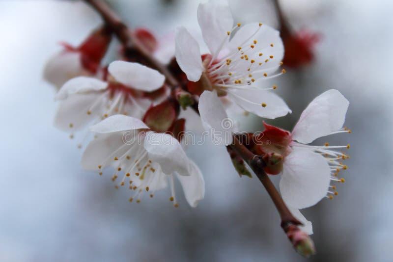 Цветя ветвь абрикоса Весна стоковое фото rf