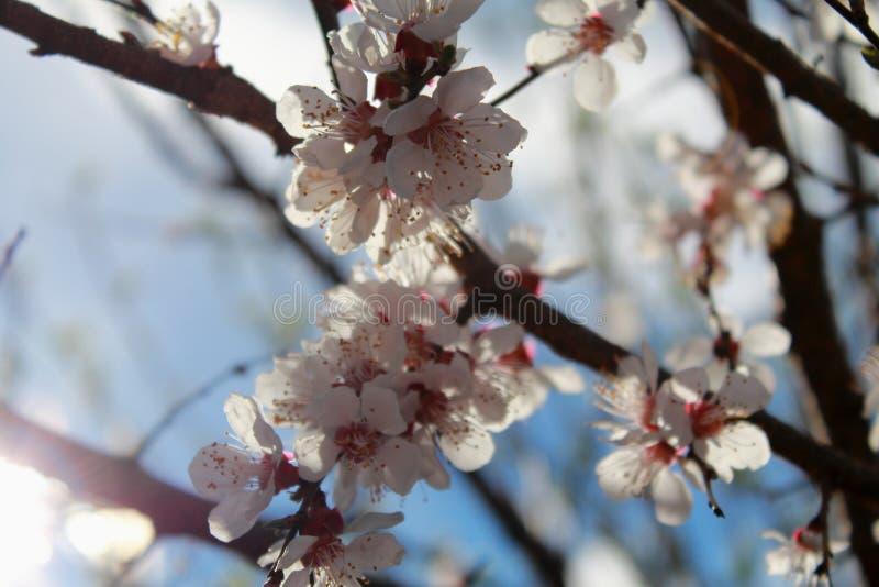 Цветя ветвь абрикоса Весна стоковые фотографии rf