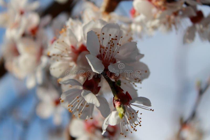 Цветя ветвь абрикоса Весна стоковое изображение