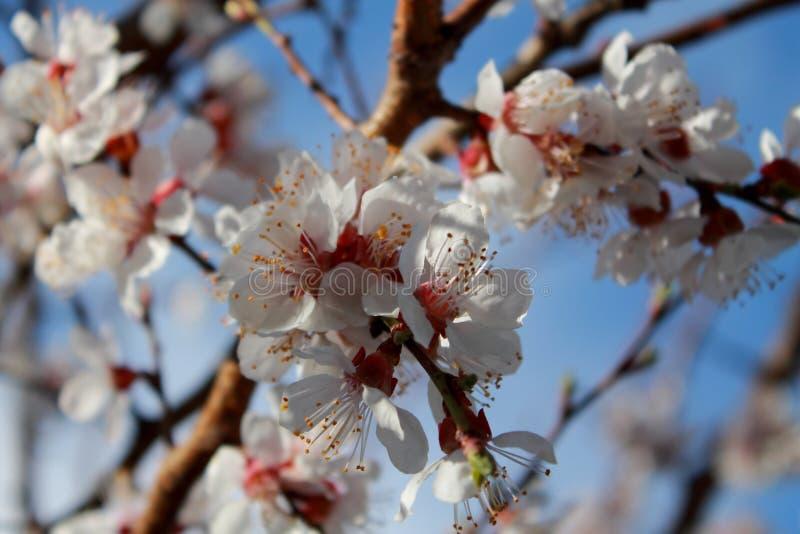 Цветя ветвь абрикоса Весна стоковые изображения rf