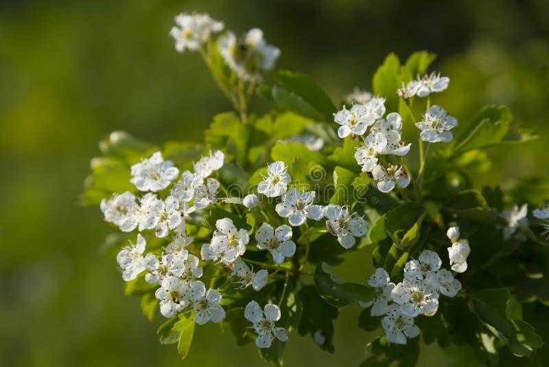 Цветя ветвь боярышника, whitethorn стоковая фотография rf