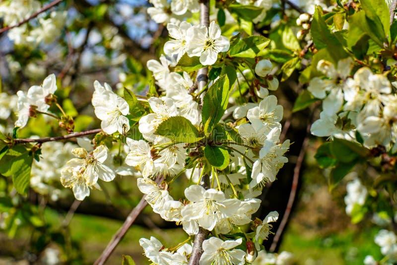 Цветя ветвь вишни с цветками красивого цветения белыми и молодыми зелеными листьями против голубого неба в саде весной стоковое изображение