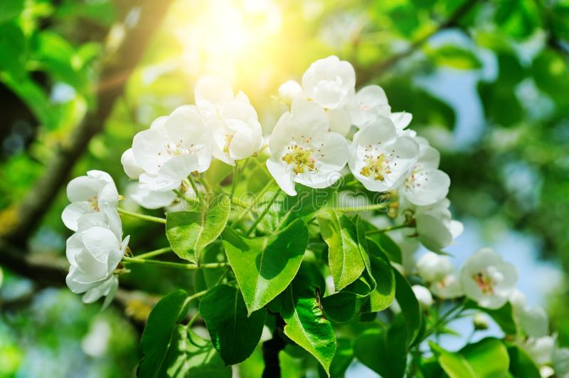 Цветя ветвь сада и солнца весны груши зацветая стоковые изображения rf