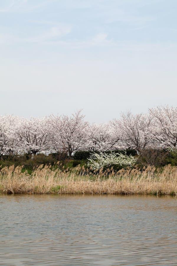Цветя вишневое дерево стоковая фотография