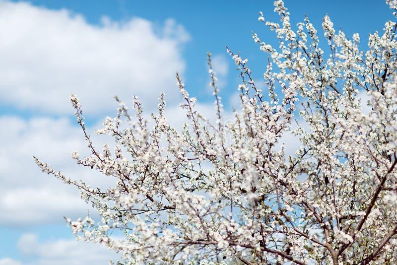 Цветя вишневое дерево стоковые изображения