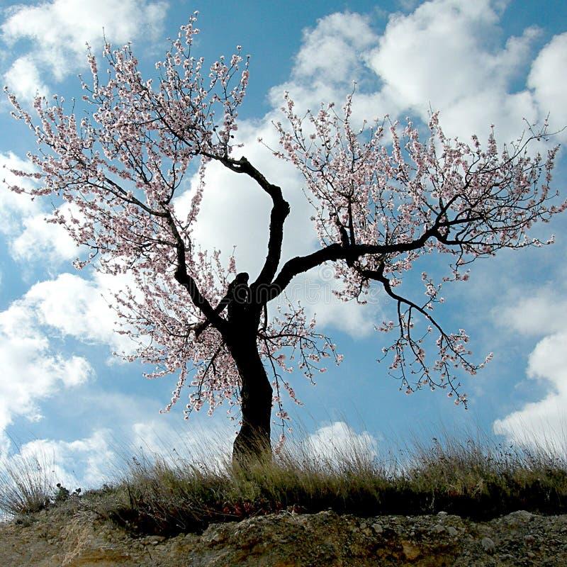 Цветя вишня и персик дерева стоковые изображения