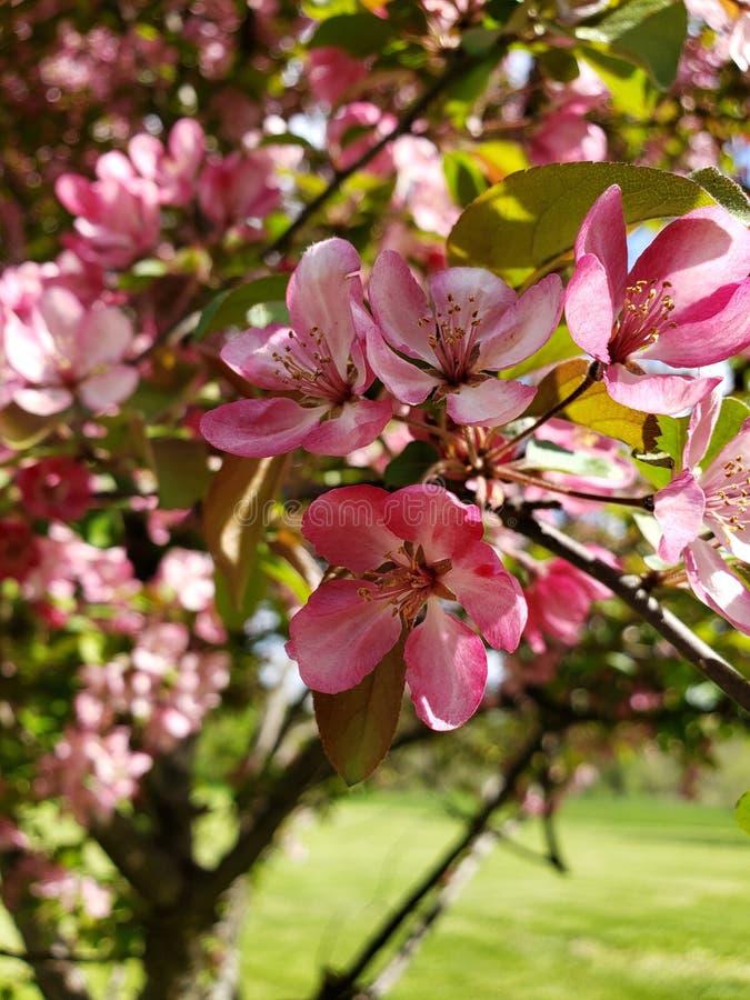 Цветя дерево весной стоковое фото rf