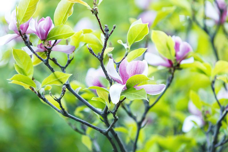 Цветя дерево магнолии Китайское цветение магнолии с фиолетовыми и белыми в форме тюльпан цветками Красивый и нежный стоковое фото rf