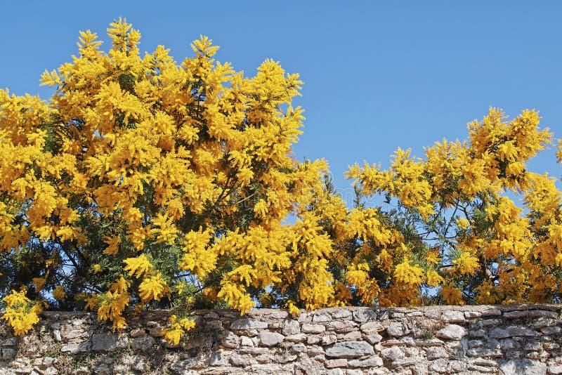 Цветя деревья серебряного wattle стоковые фото