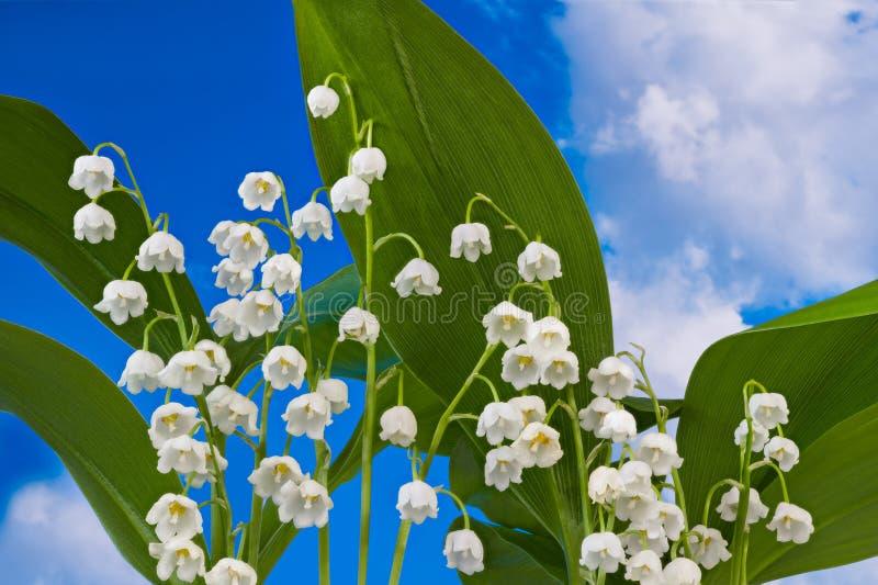 Цветя деталь ландыша Majalis Convallaria Надушенная дикая трава стоковые изображения rf