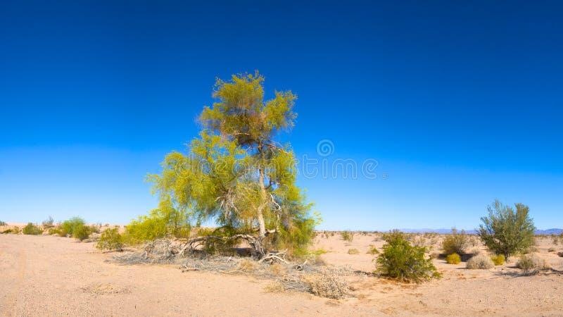 Цветя дерево пустыни стоковая фотография