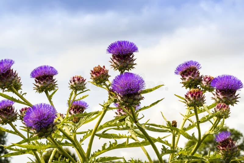 Цветя заводы артишока в vegetable заплате стоковые фото