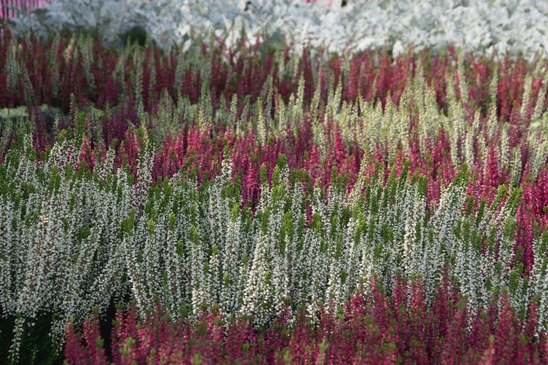 Цветя заводы вереска стоковое фото