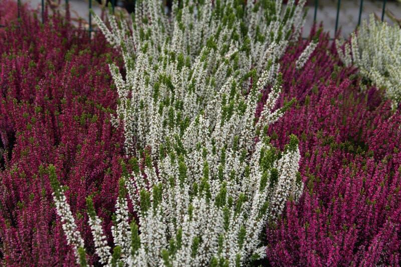 Цветя заводы вереска стоковые изображения rf