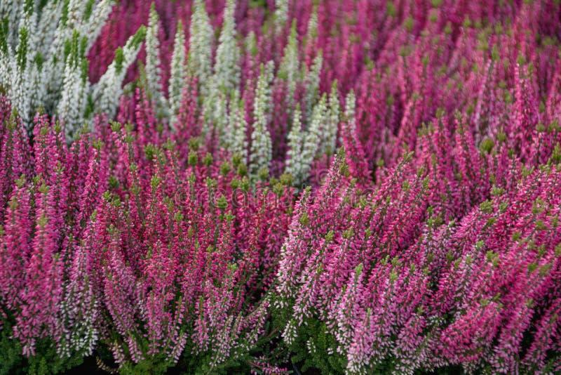 Цветя завод вереска стоковые фотографии rf
