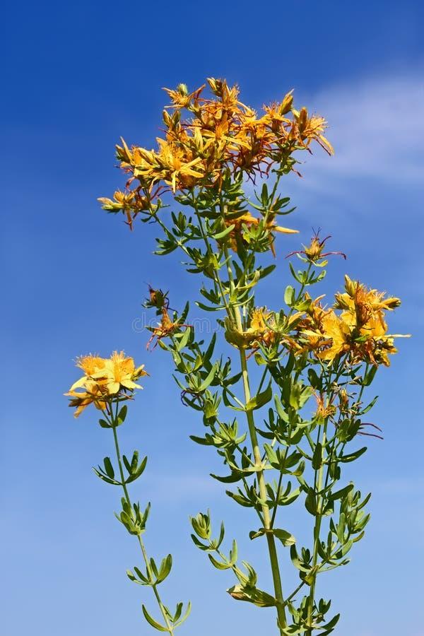 Download Цветя завод зверобоя стоковое фото. изображение насчитывающей цветок - 37927148