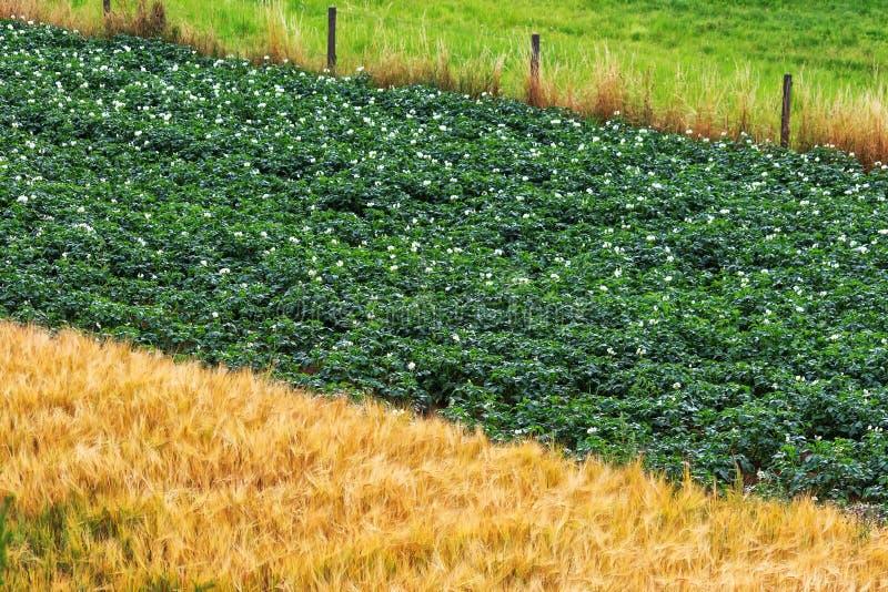 Цветя заводы картошки и золотое поле ячменя стоковые изображения rf