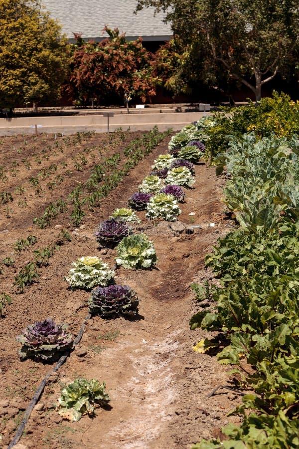 Цветя листовая капуста и орнаментальная капуста растут на малом органическом f стоковое изображение rf