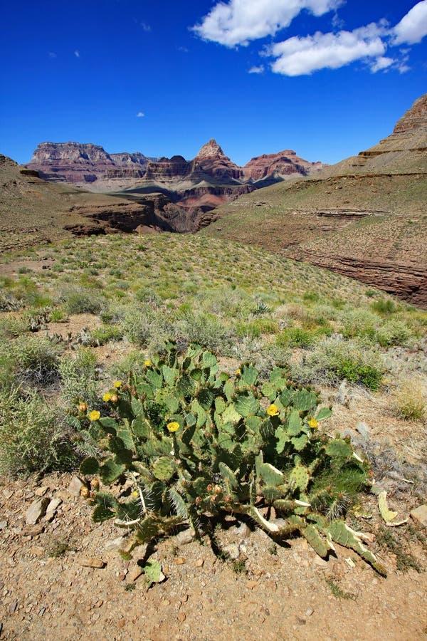 Цветя кактус в национальном парке гранд-каньона стоковое фото