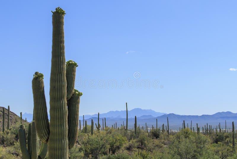Цветя кактус Saguaro стоковое фото