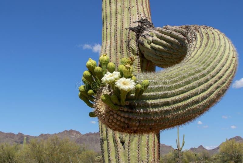 Цветя кактус Saguaro стоковое изображение