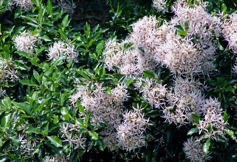 Цветя каштан накидки, capense Calodendrum стоковое изображение rf