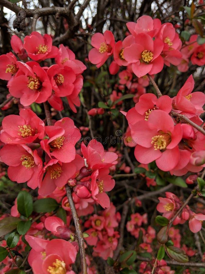 Цветя коралл айвы стоковые фото