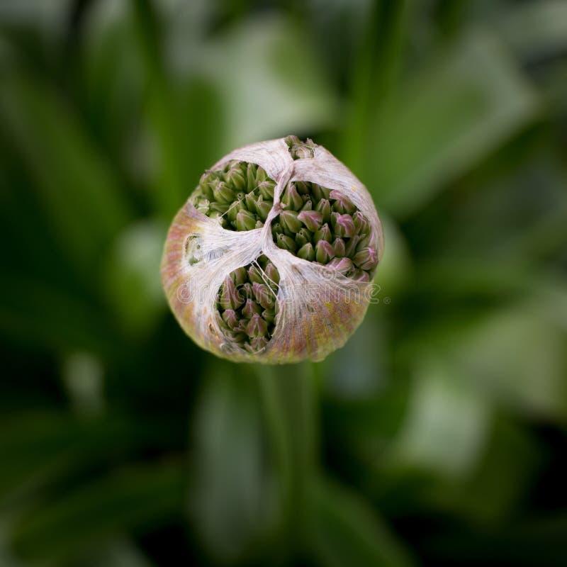Цветя лук-порей стоковое изображение rf