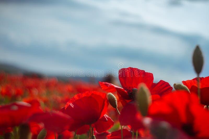 Цветя маки и голубое небо стоковые изображения rf